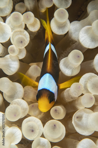Fotografie, Tablou Clownfish and anemonefish in the Red Sea