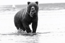 Brown Bear With Salmon In Lake...