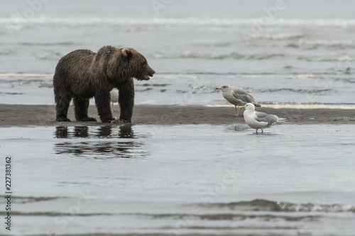 Photo  Brown bear fishing along the beach;  Lake Clark NP;  Alaska