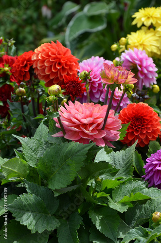 Colorful dahlia flowers display