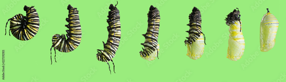 A series of photos. The transformation of the monarch butterfly (Danaus plexippus) caterpillar into a pupa. Isolated on green background