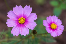 Garden Cosmos  Flowers - Cosmos Bipinnatus - Close Up In A Forest In China