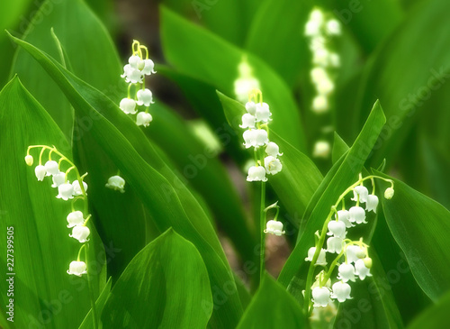 Foto op Aluminium Lelietje van dalen Lilies of the valley, beautiful springtime floral background