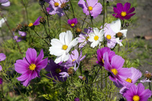 Sydney Australia,  Cosmos Wildflowers In Meadow In Late Winter