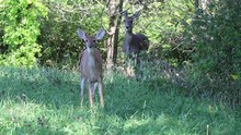 Baby White Tailed Deer Stands ...