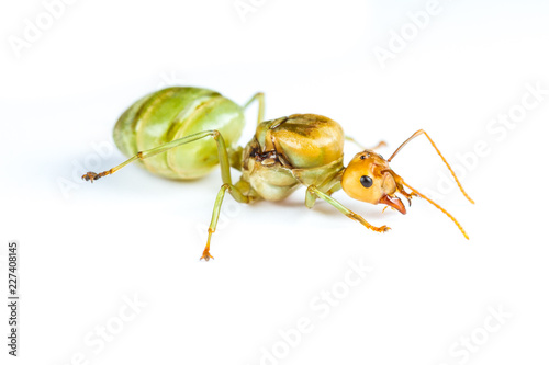 Isolated Queen Red Ant on White Background