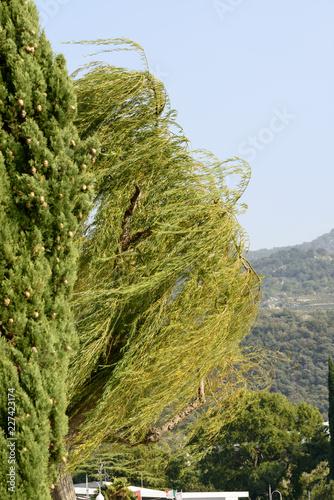 wind bows trees ashore, Torbole, Italy