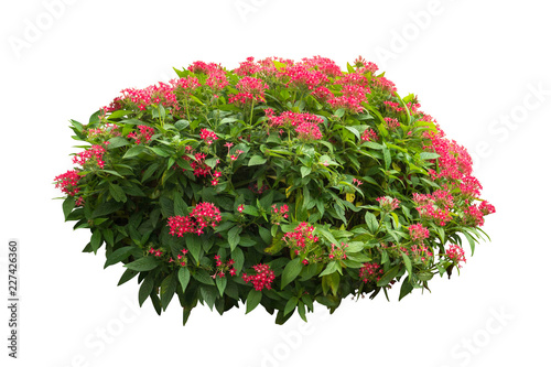 Fotografia flower plant bush tree isolated with on white background clipping path