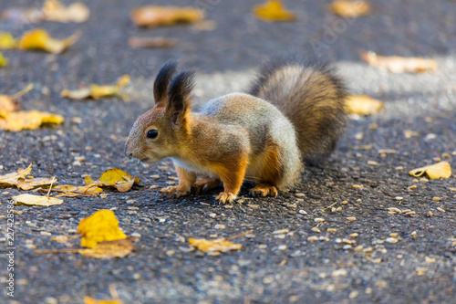 Foto op Canvas Eekhoorn The squirrel playing in the park looking for seeds, nuts and acorns during the sunny autumn day