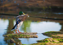 Male Mallard  Duck Background.