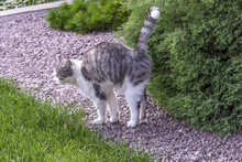 Beautiful White-gray Tabby Cat Marking Its Territory In The Garden And Spraying Pee On Thuja.Damage And Diseases Of Conifer Trees Caused By The Urine Of Animals