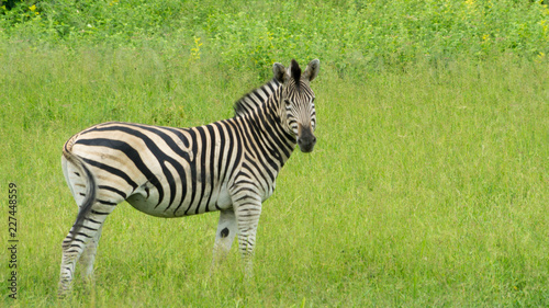 In de dag Zebra Zebra with green background