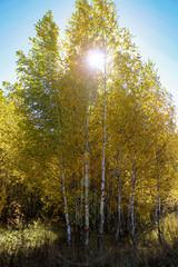 FototapetaBirch grove