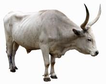 Bull With Light Skin