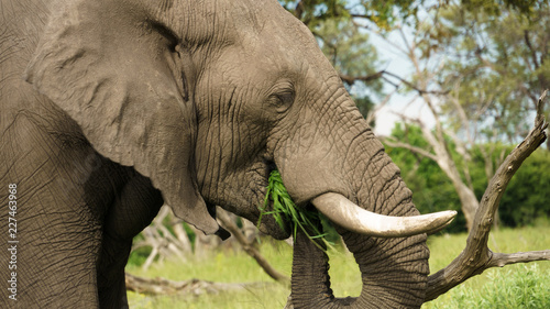 Foto op Aluminium Olifant Elephant eating grass