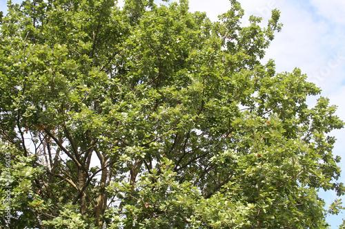 Green oak tree in the garden. Quercus family