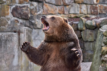 Brown Grizzly Bear. Widely Ope...