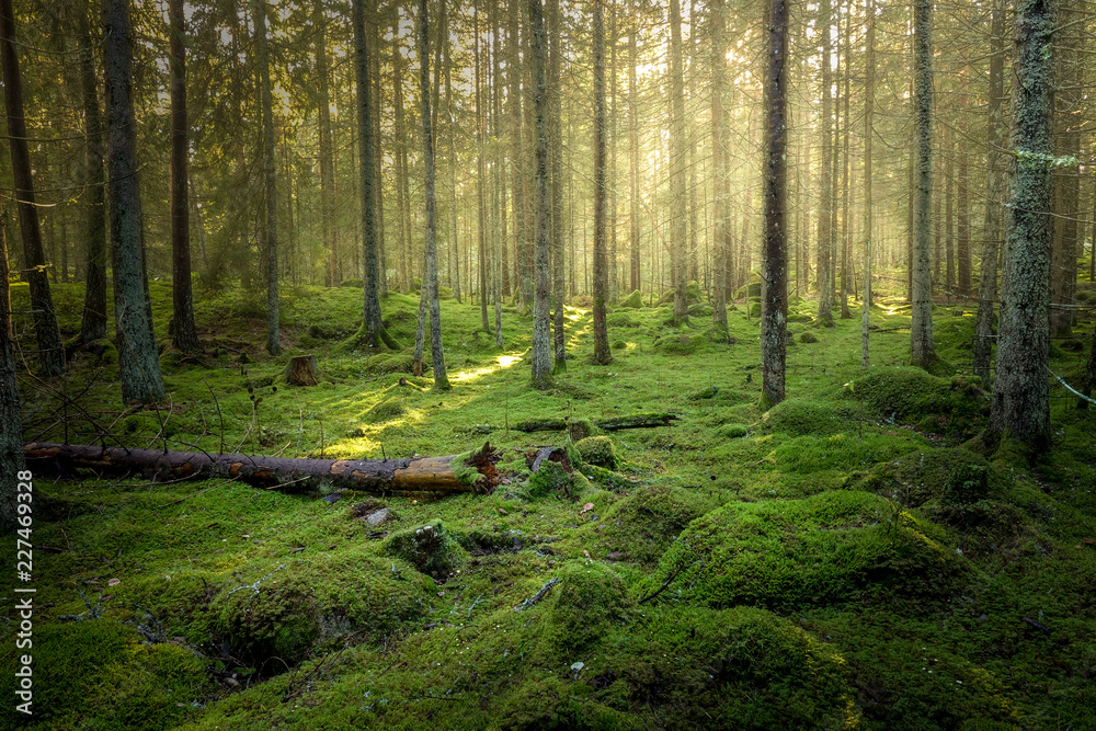 Fototapety, obrazy: Beautiful green mossy forest with strong sunlight in the fog. Cozy relaxing atmosphere.