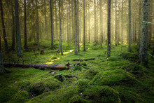 Beautiful Green Mossy Forest W...