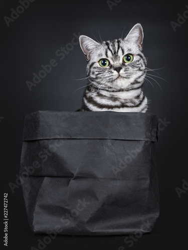 Valokuva  Excellent black silver tabby blotched green eyed British Shorthair cat kitten sitting straight in black paper bag, looking at camera