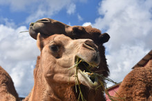 Pair Of Camels Chewing With Mo...