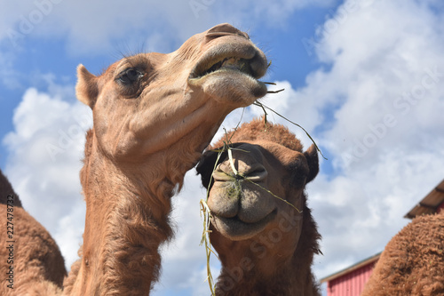 Poster Chameau Two Camels Eating Hay While Standing Together