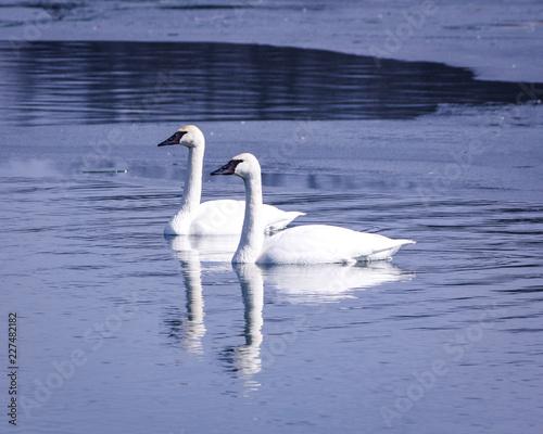 Fototapeta Pair of swans obraz na płótnie