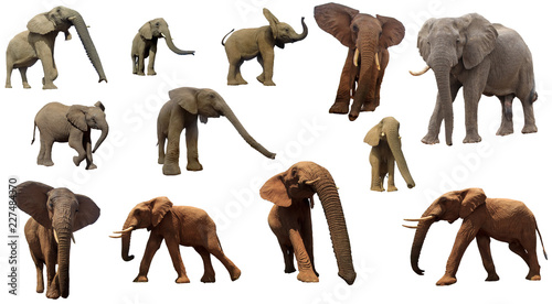 African Elephants isolated on white background