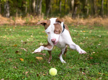 A Playful Red And White Pit Bu...