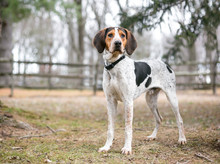 A Treeing Walker Coonhound Dog...