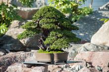 Closeup Of Yew Bonsai In A Jap...