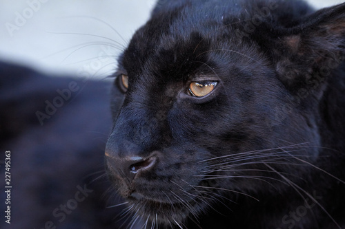 Cadres-photo bureau Panthère cat in front of black background