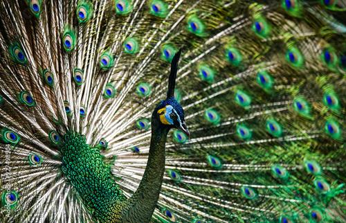 Foto op Plexiglas Pauw Beautiful Thai peacock head