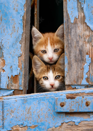Curious kittens peering out of an old blue wooden window shutter, Greece