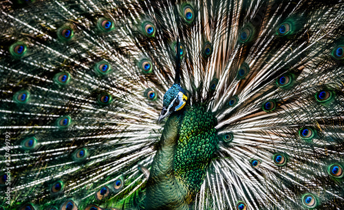 In de dag Pauw Beautiful Thai peacock head