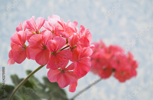 rose geranium flower Wallpaper Mural