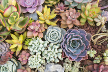 Miniature Succulent Plants In...