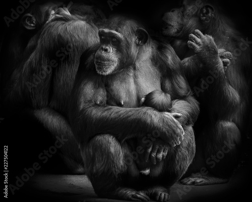 Fotografie, Obraz  Mother and Baby chimpanzee monkey in a group of chimpanzees