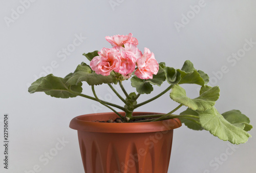 geraniums pink in a pot on a gray background