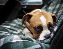 Close  Up Of Boxer Sitting In Car