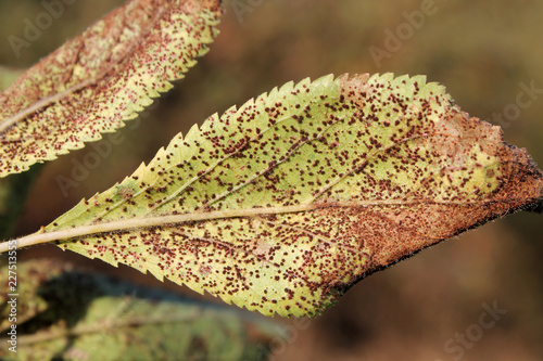 Plum rust (Tranzschelia pruni-spinosae) on leaf of Plum or Prunus domestica