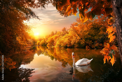 Swan on autumn pond