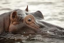 Close Up Of Hippopotamus Swimm...
