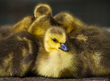 Close Up Of Goslings