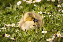 Gosling On Grassy Field