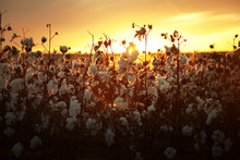 Cotton Plant Field At Sunset