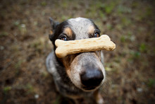 Portrait Of Dog With Bone Shape Biscuit At Nose
