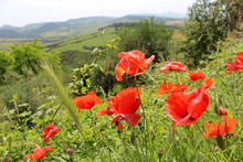 Wild Red Poppy Flowers Grow In The Valley Outside The City Of Pienza, Italy