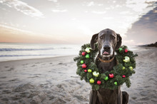 Portrait Of Great Dane With Christmas Wreath On Shore At Beach