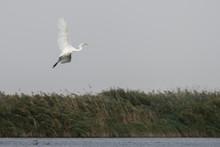 Great White Egret (egretta Alba) In The Danube Delta, Romania